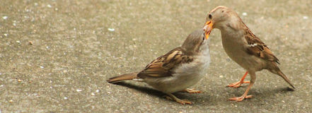 Sparrow being fed. Sparrow on the ground being fed by parent bird royalty free stock photo