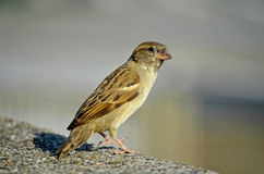 Sparrow. In Belgrade. Little beautiful bird standing and looking where to fly stock photo