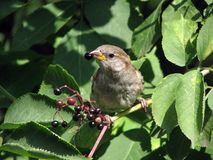 Sparrow with a berry in its beak Royalty Free Stock Image