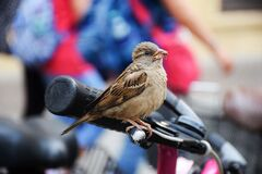 Sparrow on bicycle hand brake Royalty Free Stock Photo