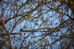 Sparrow in birch branches with young leaves in spring royalty free stock photography