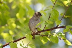 Sparrow among Birch Leaves Stock Images