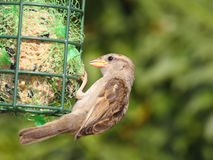 Sparrow bird. House sparrow bird on feeder with great bokeh Royalty Free Stock Images
