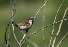 The sparrow   bird Royalty Free Stock Image