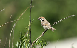 The sparrow   bird Royalty Free Stock Photography