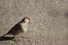 Sparrow, Bird, Animal, Nature Royalty Free Stock Images