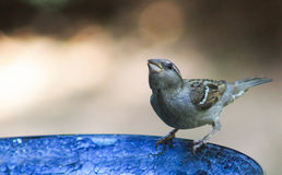 Sparrow-bird bath. Sparrow drinking from a blue bird bath Stock Photography