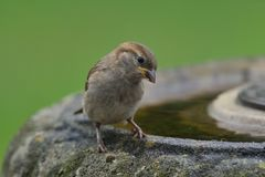 Sparrow on a bird bath. Portrait of a sparrow perching on a bird bath Stock Photo