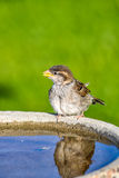Sparrow on Bird Bath Stock Images