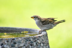 Sparrow on Bird Bath Royalty Free Stock Photos