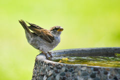 Sparrow on Bird Bath Royalty Free Stock Photography