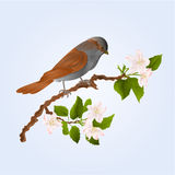 Sparrow bird on a branch of an apple tree vector Stock Photography