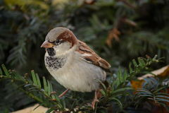 Sparrow bird on a branch Royalty Free Stock Photo