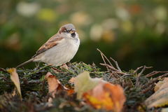 Sparrow bird on a branch Royalty Free Stock Image