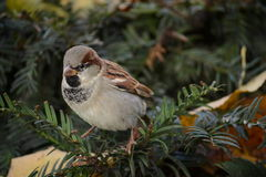 Sparrow bird on a branch Royalty Free Stock Photos