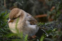 Sparrow bird on a branch Stock Photo