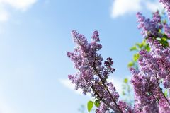 Sparrow bird on branch of Pink Purple Lilac flowers royalty free stock image