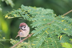 Sparrow bird Stock Photos