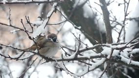 Sparrow Bird On A Branch In The Winter stock video footage