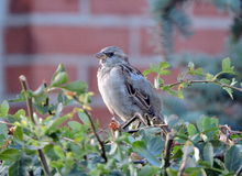 Sparrow bird Royalty Free Stock Photography