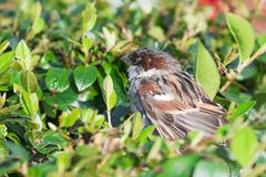Sparrow bird in the bush. Suitable for any purtrose use Royalty Free Stock Photography