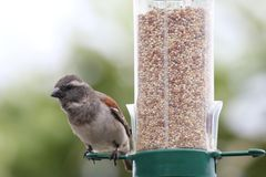 Sparrow on Bird Feeder Royalty Free Stock Photos