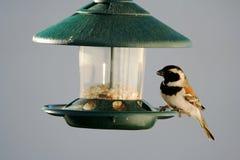 Sparrow at bird feeder Royalty Free Stock Photo