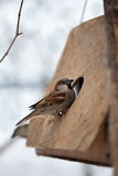 Sparrow on bird feeder Royalty Free Stock Photos
