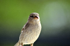 Sparrow Bird. Female sparrow standing during a sunny day stock photos