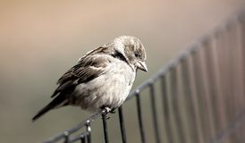 Sparrow bird on fence Royalty Free Stock Photography