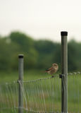 Sparrow bird on fence near vineyard. In summer time Stock Photography