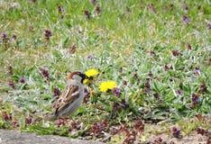 Sparrow bird Royalty Free Stock Photos