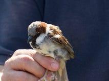 Sparrow Bird in hand being measured in Zaragoza Stock Photos