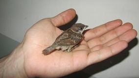 Sparrow ,. A bird in the hand Royalty Free Stock Image