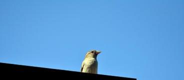 Sparrow. Bird - House Sparrow (Passer domesticus Royalty Free Stock Photo