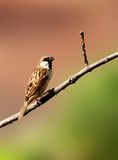 Sparrow bird. An indian male sparrow sitting on a seasoned branch, creative shot Royalty Free Stock Photo