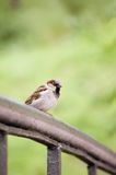 Sparrow Bird Passer domesticus On Bridge Rail Stock Photo