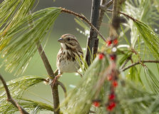 Sparrow Bird Perched in Pine Needle Branches Stock Images
