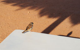 Sparrow Bird  Rest in Shadow. Close up on Sparrow Bird Stock Image