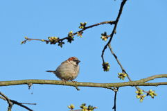 Sparrow bird sit on branch Royalty Free Stock Photography