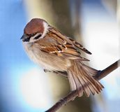 Sparrow. The bird a sparrow sits on a mountain ash branch Royalty Free Stock Images