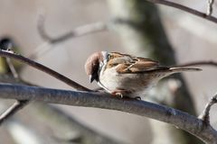 Sparrow. The bird a sparrow sits on a mountain ash branch Stock Images