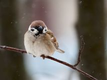 Sparrow. The bird a sparrow sits on a mountain ash branch Royalty Free Stock Image