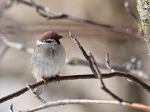 Sparrow. The bird a sparrow sits on a mountain ash branch stock image