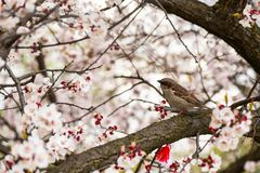 Sparrow apricot branch spring nature close up royalty free stock photography