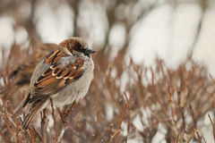 Sparrow bird sitting on a branch. Male bird. Soft focus. Sparrow sitting on a  branch. Male bird Stock Image