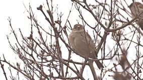 Sparrow bird sitting on a branch nature tree stock video footage
