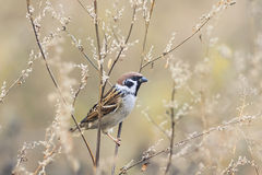 Sparrow bird sitting on the branches of wormwood Royalty Free Stock Photography