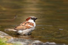 Free Sparrow Bird Sitting On Water Pond. Sparrow Songbird Family Passeridae Refreshing, Drinking And Bathing Inside Clear Water Pond Stock Image - 151019571