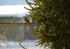 Sparrow Bird. Sparrow in winter near the Christmas tree. stock image